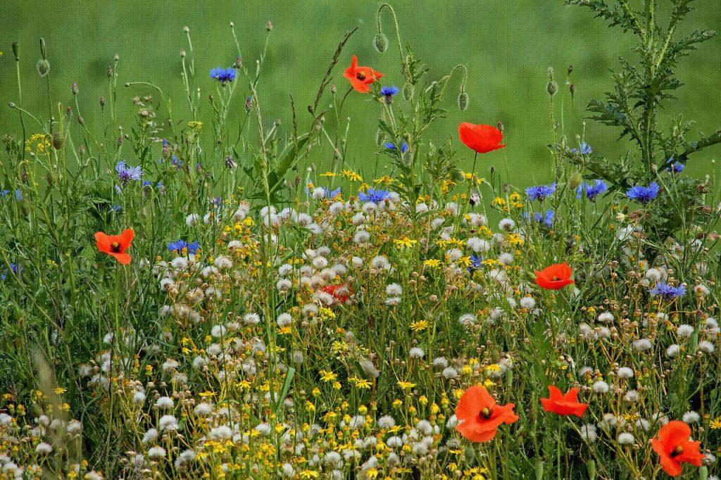 łąka kwietna alternatywa dla trawnika