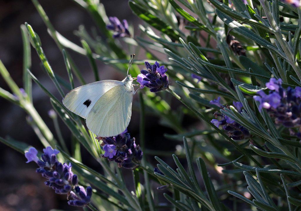 kwiaty wabiące motyle
