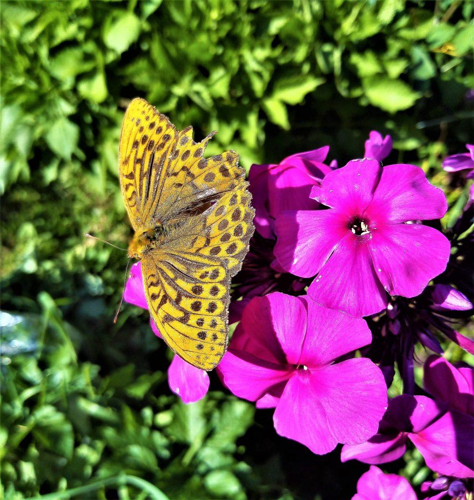 motylowa roślina