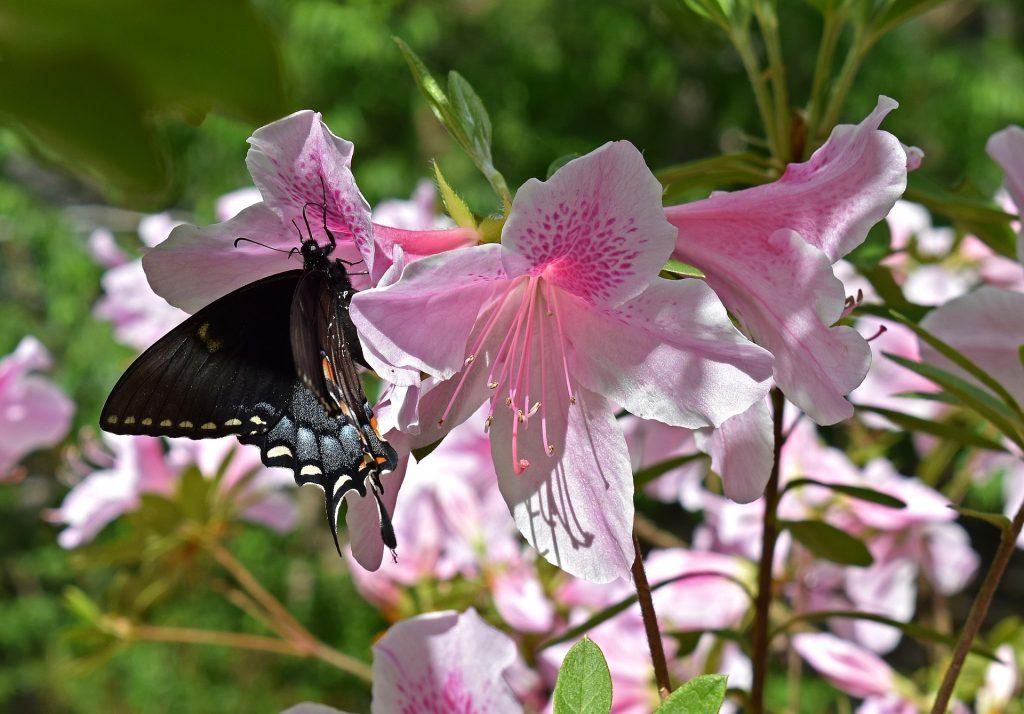 roślina odwiedzana przez wiosenne motyle