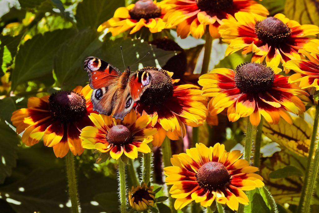 kwiat motyli