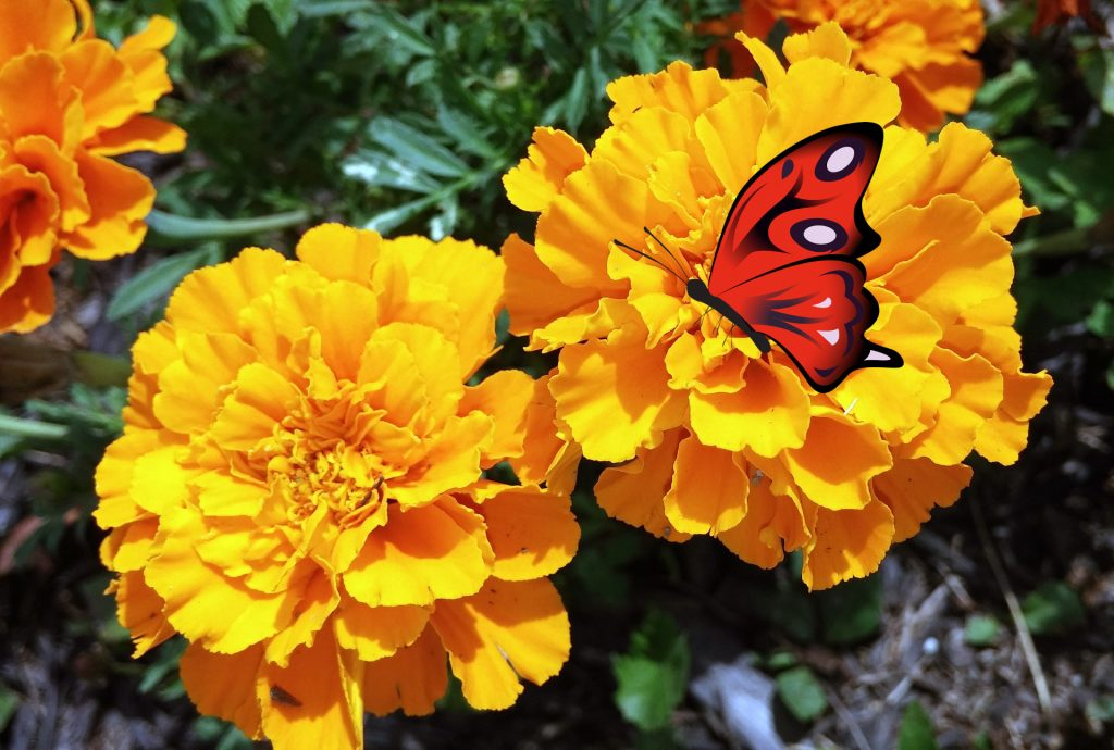 kwiat odwiedzany przez motyle